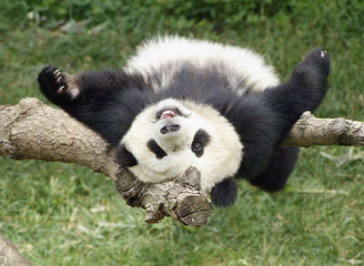 Tai Shan, the Zoo's four-year-old panda will return to China sometime early in 2010. See the adorable Butterstick in person while you still can. Photo courtesy of the Zoo.
