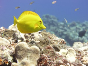 Yellow Tang near Maug Island in the Mariana Archipelago. Credit: NOAA, Pacific Islands Fisheries Science Center, Coral Reef Ecosystem Division, Robert Schroeder, photographer.