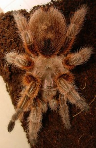A pet Chilean rose tarantula (courtesy of flickr user lofaesofa)