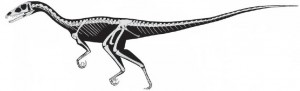 A skeletal restoration of Tawa hallae. Almost the entire skeleton was found. From the Science paper.