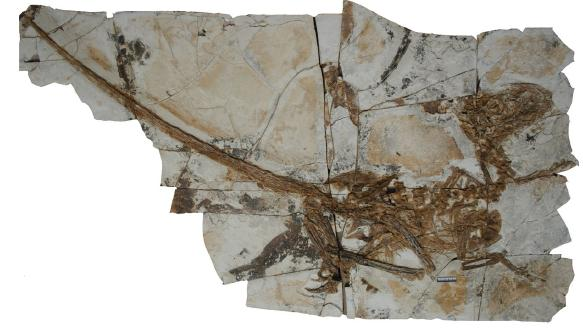 The skeleton of Tianyuraptor, from the Proceedings of the Royal Society B paper.