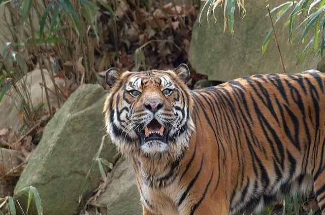 tiger-rokan.jpg