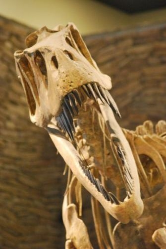 A skeleton of Torvosaurus greets visitors at the Museum of Ancient Life.