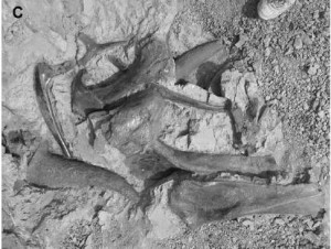A close-up of the juvenile Triceratops bonebed. From the JVP paper by Matthews, et al.