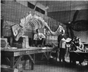 The Smithsonian Tylosaurus being prepared for exhibition in 1919.