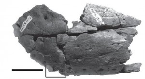 A partial jawbone from a tyrannosaur. The square box indicates the presence of an embedded tooth. From the Lethaia paper.