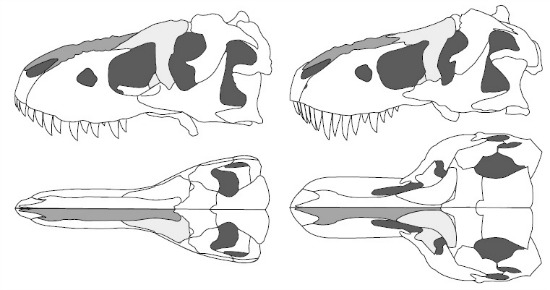 http://blogs.smithsonianmag.com/dinosaur/files/2012/06/tyrannosaur-skulls-large.jpg