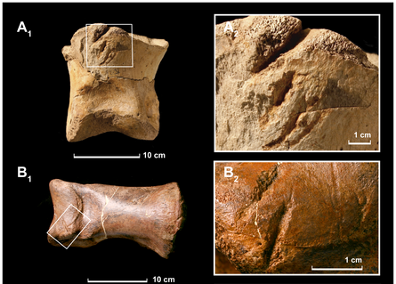 Two bite-marked toe bones from Tyrannosaurus rex. Close-up views of the bite-marks are on the right. From Longrich et al., 2010.