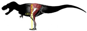 The outline of a Tyrannosaurus showing the measurements used in the PLoS One study.