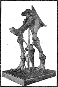 The first mounted skeleton of Tyrannosaurus, on display at the American Museum of Natural History in 1906. From the New York Times.