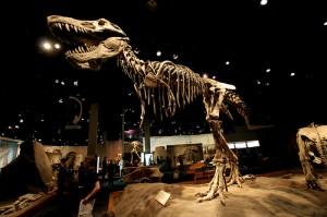 The skeleton of Tyrannosaurus on display in the Royal Tyrell Museum in Drumheller, Alberta. From Flickr user headspacej.