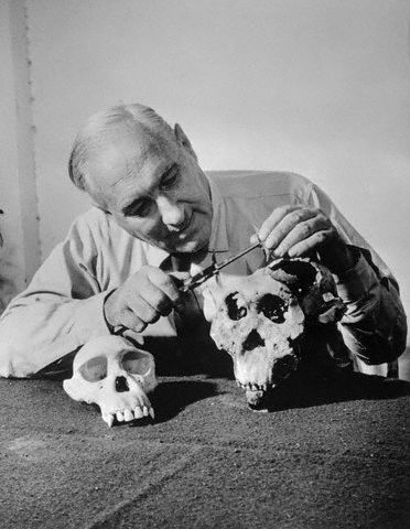 Louis Leakey examines the skull of Australiopithecus boisei. Credit: Bettman/Corbis