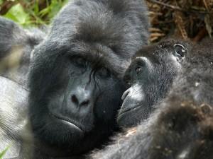 Mountain gorillas in Uganda (courtesy of Flickr user Stefan Gara)