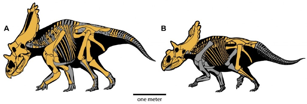 Skeletal restorations of Utahceratops (left) and Kosmoceratops (right). The yellow bones are those that have been recovered for each species. From Sampson et al., 2010.