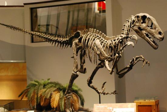 utahraptor-skeleton jpgUtahraptor Skeleton