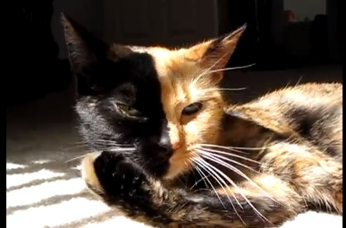 The Genetics Behind Venus The Mysterious TwoFaced Cat Smart - Venus two faced cat