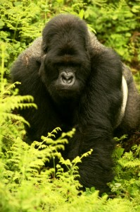 A silverback mountain gorilla (via Wikimedia Commons)
