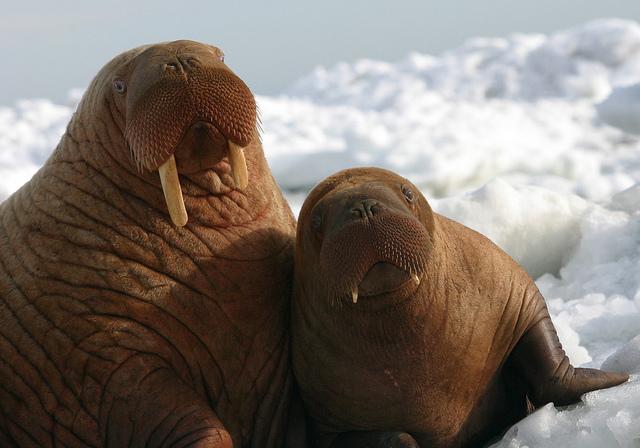 a 15 Week Old Baby Walrus