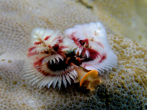 The Christmas Tree Worm, Decorating