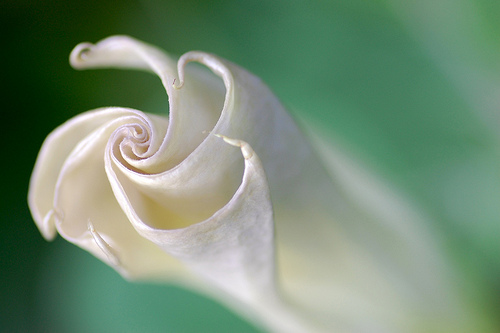 A trumpet flower caught as it unfolds (copyright Patsy Lieberman)
