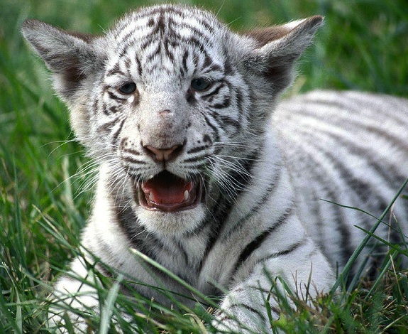 one slight genetic tweak gave white tigers their pale coats | smart