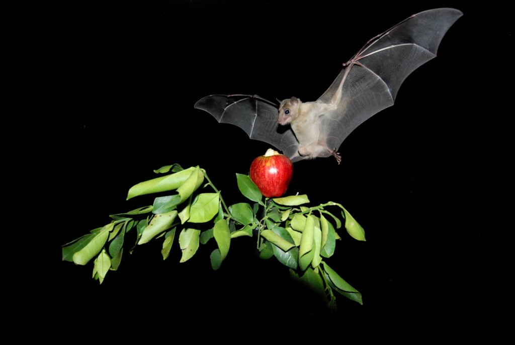 An Egyptian fruit bat aims for an apple (Image courtesy of Yossi Yovel)