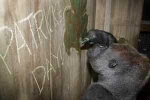 Baraka, a 16-year-old silverback western lowland gorilla, eats
