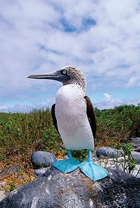 Blue footed boobies are some of the many striking birds native to the Galapagos.