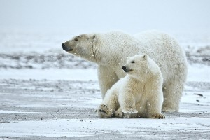 Polar Bear Sow With Cub, Arctic National Wildlife Refuge. Photo: Alan D. Wilson