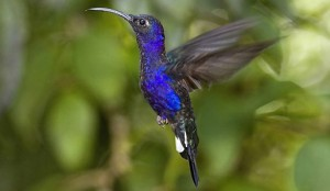 The violet sabrewing hummingbird.