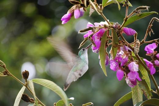 Hummingbird near Machu Picchu