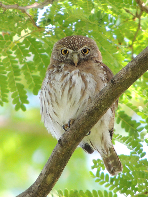 A ferruginous pygmy owl forages in the trees on the grounds of the Hotel Casa Conde del Mar. February 22, 2013. Photo by Jim Karr