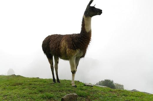 Lama near Machu Picchu