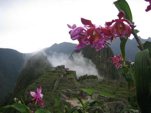 Sobralia orchids, Machu Picchu