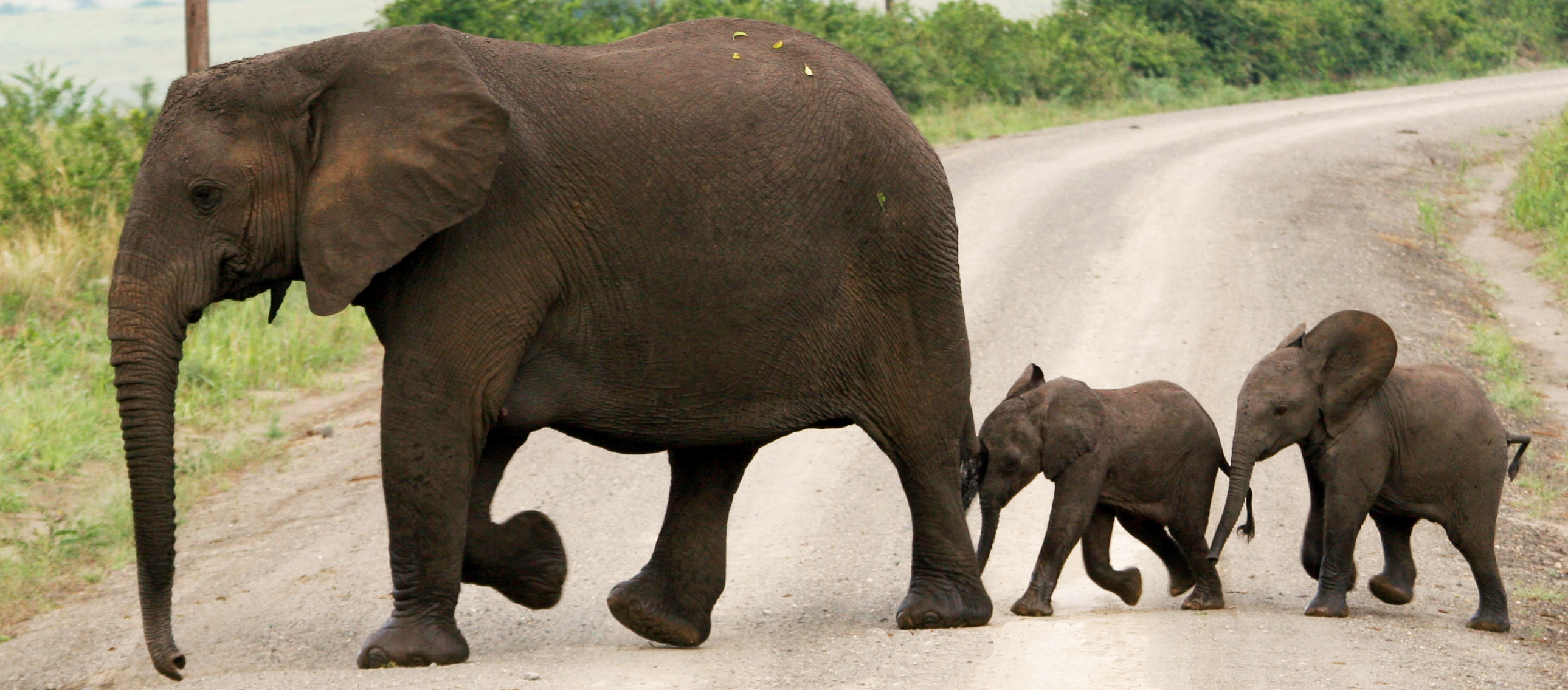 A female elephant and two calves use the buddy system to cross a Ugandan road. Photo: Global Adrenaline