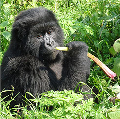 A mountain gorilla finds a meal in the Ugandan jungle.