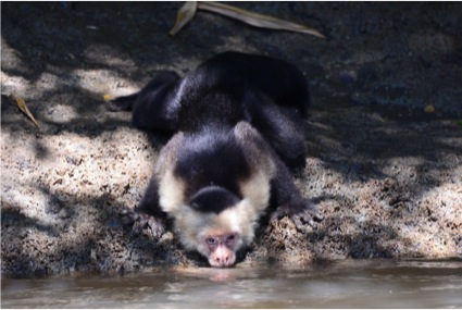 White-headed Capuchin drinking along the Tempisque River (Photo by R. Szaro).