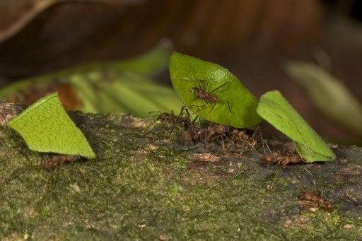 Leaf Cutter Ants in Costa Rica. Photo: Jim Urmston