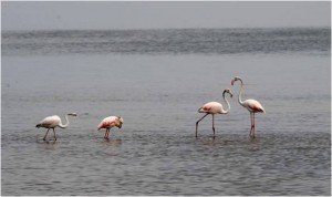 Flamingos on Walvis Bay