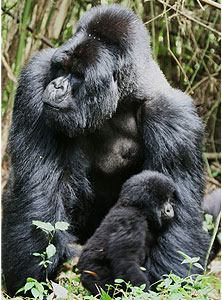 A male silverback and baby Mountain Gorilla