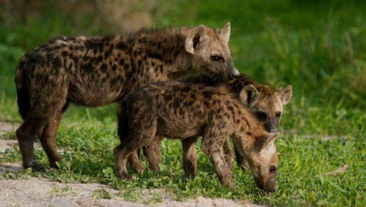 Three young inquisitive Hyena pups. Photo by Claire Tinsley