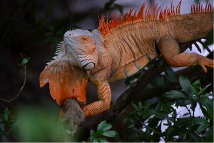 Green Iguana displaying for a mate (Photo by R. Szaro)