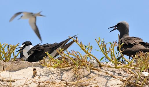 noddy terns