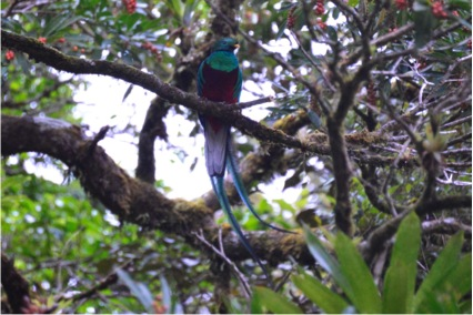 Resplendent Quetzal at the entrance of the cloud forest reserve (Photo by R. Szaro)
