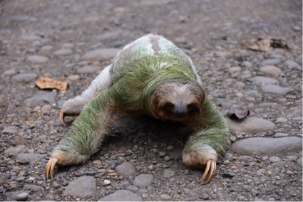 Three-toed Sloth crossing road near Luna Nueva private rainforest reserve (Photo by R. Szaro)