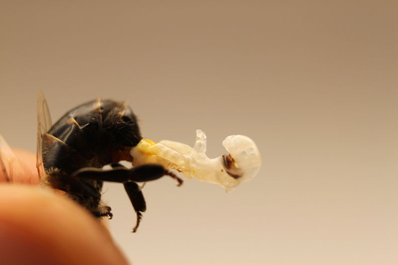 bee's ejaculation