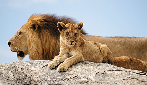 Male lions are responsible for protecting the pride from predators. Their manes darken as they age.