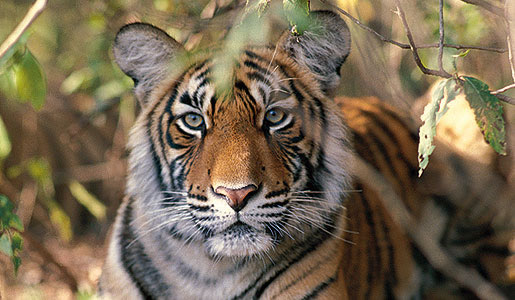 Tigers have been venerated in India since ancient times. Photo: India Tourism Board