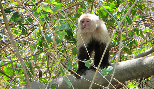 A curious white-faced monkey encountered during a boat trip on the Tempisque River. March 22, 2013. Photo by Jim Karr.