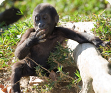 "Kibibi means ""little lady"" in Swahili. Photo - National Zoological Park."